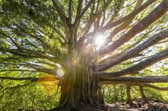 There is a beautiful banyan tree in Lahaina, Maui, Hawaii