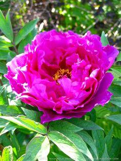 Black Dragon Holds a Splendid Flower - Tree Peony in Full Bloom ⓒ 2012 michaela medina - thegardenerseden