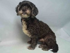 GHOST aka GUS IS SAFE❤️ - 12/09/16 - Super Urgent Brooklyn - GHOST - #A1098800 - MALE BLACK/WHITE POODLE MIN/SCHNAUZER MIN, 8 Yrs - STRAY - NO HOLD Reason STRAY - Intake 12/05/16 Due Out 12/08/16 - SOCIABLE, TOLERATES HANDLING, NO SIGNS OF AGGRESSION