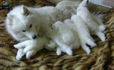 Kar beyaz samoyed yavruları uygun fiyatlarla Akademi Dog kalitesi ve güvencesi ile satılıktır... http://www.kopekdunyasi.com/irk-garantili-kar-beyaz-samoyed-yavrulari.html