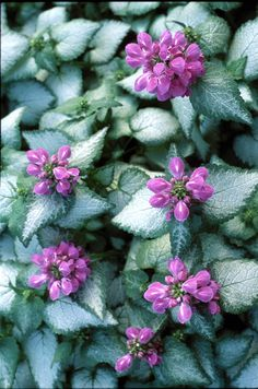 LAMIUM : Purple Dragon--- Full shade fast spreading!! Have it...needed the name