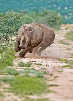 Road Rage | White Rhino in Okahandja, Otjozondjupa, Namibia | by Kit Wilde, via Flickr