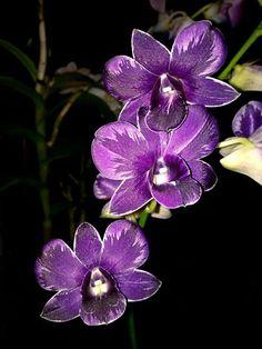 Kindel Orchidee Orchideen Neofinetia Blue Birds Hybride Vanda Duft  XL Pflanze