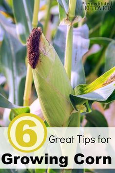 6 Great Tips for Growing Corn- Planning on growing corn in your garden this year? Here are 6 great gardening tips for growing corn to ensure your harvest is great!