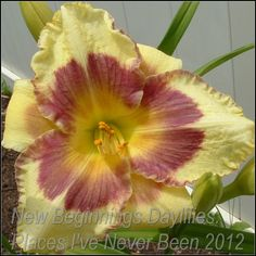'Places I've Never Been' Daylily