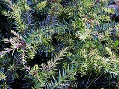 Alpine Plum Yew (Podocarpus alpinus 'County Park Fire') - evergreen shrub, yews are soft and this is compact, 2ft tall/wide avg. foliage is multicolored