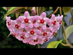 Wax Flower Care and Reproduction - Home Dekoration Ideen Youtube Design, Spider Species, Balcony Flowers, Wax Flowers, Diy Projects For Beginners, Diy Chicken Coop, Fun Hobbies, Plantar, Decoration Table