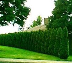 Emerald Green is an evergreen tree usually seen in upscale neighborhoods,they are a little more pricey than your aravage evergreen tree. A slim tree of medium height, 'Emerald Green' arborvitae is often planted in a row -- as a decorative border planting, wind screen or privacy screen.