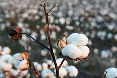 Cotton was a huge crop during the late in The South. Slaves were the ones who would spend days picking the cotton. This got to be very painful and tedious for the slaves. But it was also very time consuming until the invention of the Cotton Gin in Asian Plants, The Kinfolk Table, King Cotton, Cotton Plant, Cotton Fields, Back Gardens, Southern Charm, Where The Heart Is, Public Art