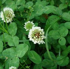 6 Reasons Why I Chose White Clover as a Living Mulch — Seattle Homestead