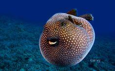 Guineafowl pufferfish | Guineafowl pufferfish, Hawaii