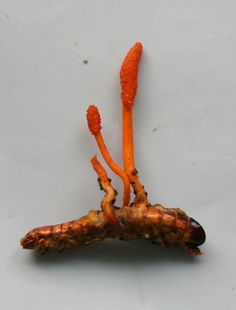 Cordyceps is a genus of parasitic fungi that invade insects such as ants, spiders and caterpillars. The fungus infects the brain of their host, modifying its behaviour. The insect is suddenly driven to climb plants so that the maximum amount of fungal spores can be distributed. The insect will eventually die as the fungus erupts out of its body, causing some pretty dramatic displays.