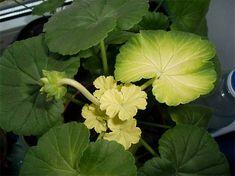 Почему у герани желтеют, белеют и сохнут листья? Как этого избежать? Landscape Design, Plant Leaves, Vegetables, Garden, Plants, Flowers, Cabbage, Geraniums, Lawn And Garden