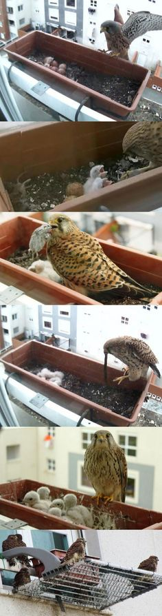 Just A Falcon Taking Care Of Its Offspring