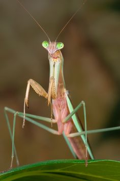 A Chinese Mantis (Tenodera sinensis) stands at attention.  (via: Luc Viatour)