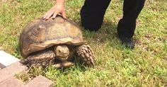 MIAMI (AP) -- A South Florida woman has been reunited with her 80-pound pet tortoise after he escaped earlier this week and managed to get about a half-mile away. Mary Schul told The Miami Herald she couldn't