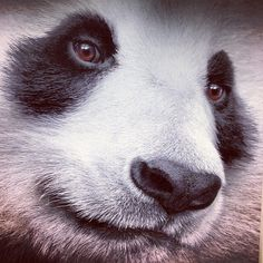 Panda, Photo by San Diego Zoo Animals And Pets, Baby Animals, Cute Animals, Bear Pictures, Animal Pictures, Panda Day, Panda Panda, Panda's Dream, Baby Panda Bears