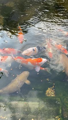 Fish Pond Gardens, Koi Fish Pond, Water Gardens, Pretty Fish, Beautiful Fish, Water Live Wallpaper, Koi Fish Colors, Eco System, Koi Art