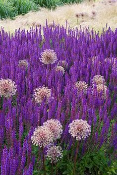 Purple and white mix; Allium Giganteum AND Salvia Diy Garden, Dream Garden, Garden Plants, Plant Design, Garden Design, Purple Flowers, Beautiful Flowers, Salvia, Trees To Plant