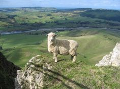 I see a sheep on top of a very high hill. Meghan sees yarn that hasn't been spun just yet.