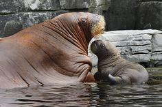 Und hier eine echte Seltenheit: Deutschlands erstes Walross-Baby! Mutter Dyna und dem kleinen Bullen Thor geht es im Hamburger Tierpark Hagenbeck prächtig.