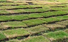 The ins and outs of planting new sod or converting Bermuda grass to St. Augustine.