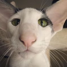 Cats And Kittens Breeds Short Hair Faces 23 Ideas Pretty Cats, Beautiful Cats, Animals Beautiful, I Love Cats, Crazy Cats, Cool Cats, Animals And Pets, Baby Animals, Cute Animals