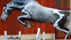 "gillian higgins has spent 2 years painting 11 anatomical systems on horses as part of an innovative teaching aid. ""it's not just about knowing the names of the bones, it's about understanding exactly what they do."""