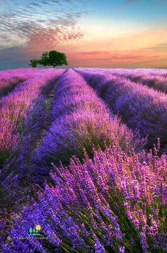 ***Evening light over a lavender field (Provence, France) by Tiberio Taverni on 500px 🌸🇫🇷