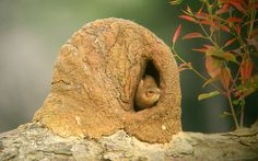 Rufous Hornero (Furnarius rufus) A bird inside its nest. Nest Building, Photo Galleries, Gallery, Fauna, Nests, Bird Species, Barbie, Youtube, Blog