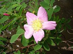 Wisconsin Wildflowers. Wild rose. They dont last long but they smell so strong of rose's.