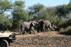 Elephant Tussle, Madikwe Game Reserve