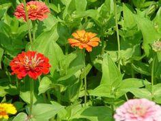 Zinia, Rosa mística, Flor de papel.  Propagación por semillas