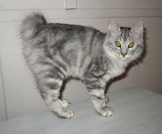 Kurilian Bobtail Cat, Silver- The Kurilian's wild look is not reflected in the temperament of the breed. It is known for its clever and gentle nature.