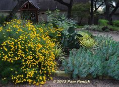 November 2013 A blue norther blew in last night, chasing away yesterday's F high. The glow of the copper canyon daisies (Tagetes lemmonii) out front was just as warm as the temperature yesterday, and I couldn't resist snapping … Read Dig Gardens, California Native Plants, Drought Tolerant Plants, Flower Beds, Yard Landscaping, Garden Beds, Garden Inspiration, Perennials, Planting Flowers
