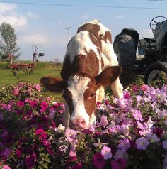 cow in the petunias Cute Creatures, Beautiful Creatures, Animals Beautiful, Cute Baby Animals, Animals And Pets, Fluffy Cows, Baby Cows, Cute Cows, Rind