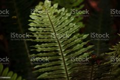 Blechnum Novae-Zelandiae (Palm-Leaf Fern) or Kiokio Close-Up of a Blechnum Novae-Zelandiae (Palm-Leaf Fern) or Kiokio in Full Frame. Abstract Stock Photo Abstract Images, Abstract Backgrounds, Photo Composition, Magazine Articles, Video Image, Feature Film, Photo Illustration, Image Now, Fern