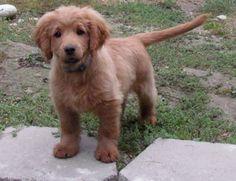 Golden Retriever-Cocker Spanie forever a puppy.