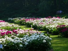 "a great article on the ""how to"" of planting peonies..."