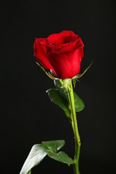 Rose Flower Pictures, Beautiful Flowers Pictures, Beautiful Red Roses, Love Flowers, Summer Flower Arrangements, Summer Flowers, Single Red Rose, Red Rose Bouquet, Rose Wallpaper