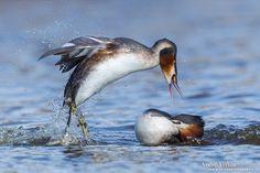 Vroege Vogels: Fotoserie: Vechtende dieren = fuuten