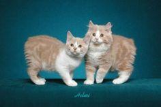 Gorgeous Manx kittens