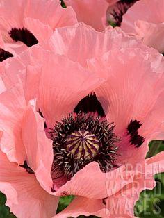PAPAVER ORIENTALE, ORIENTAL POPPY Garden World Images