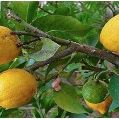 Tome água morna com limão no lugar de comprimidos se você tem um destes 10 problemas