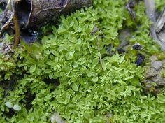Tortula vahliana Chalk screw moss Herbs, Food, Essen, Herb, Meals, Yemek, Eten, Medicinal Plants