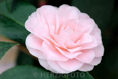 "Camellia japonica ""Ave Maria"" - Kamelie"