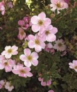 Potentilla, Pink Beauty (Potentilla fruticosa 'Pink Beauty') A floriferous selection with clear pink flowers that cover the bright green foliage; flower color will fade when nights are extremely hot. A veratile shrub for borders, along walks, low hedges and as a mass or foundation planting. Deciduous. 3' x 3'