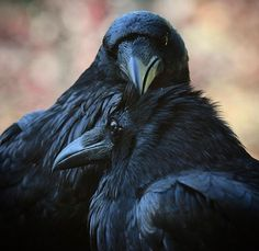 Portrait of a Successful Marriage. Did you know that ravens mate for life? James (in the foreground) and Margaret sit with us everyday on… Raven Bird, Quoth The Raven, Crow Bird, Raven Photography, Animals And Pets, Cute Animals, Nature Animals, Crows Ravens, Successful Marriage