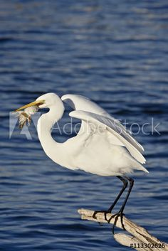 Great Egret (Ardea alba) with a fish, Sonny Bono Salton Sea National Wildlife Refuge, California, United States of America, North America
