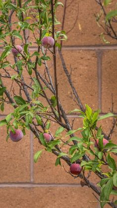 As you can see, our tree has produced a lot of wild plums, which makes all of the birds that come to our yard very happy. So far, I haven't used any of the plums, but have left them out there for the birds.
